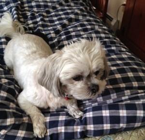 Chloe dog in Yardley