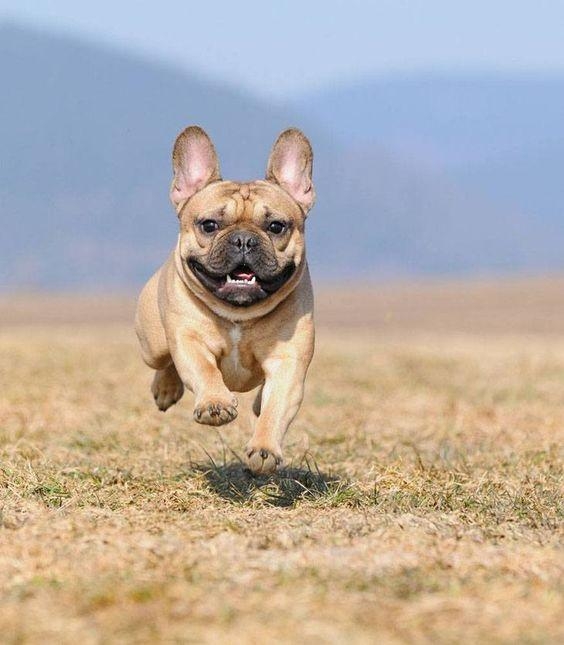 Francuski buldog trči