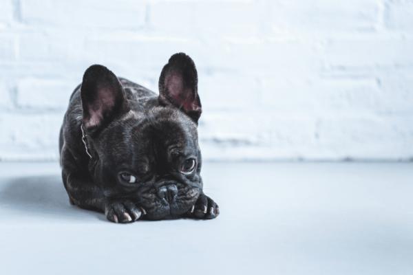 Od koga NE KUPITI štene francuskog buldoga?