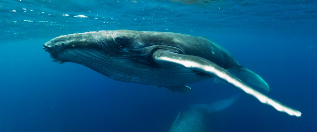 Immotion Unveils 'Swimming with Humpbacks' – New VR Experience -Swimming With Humpback Whales
