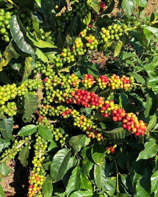 Brasil Diamond 2 Coffee