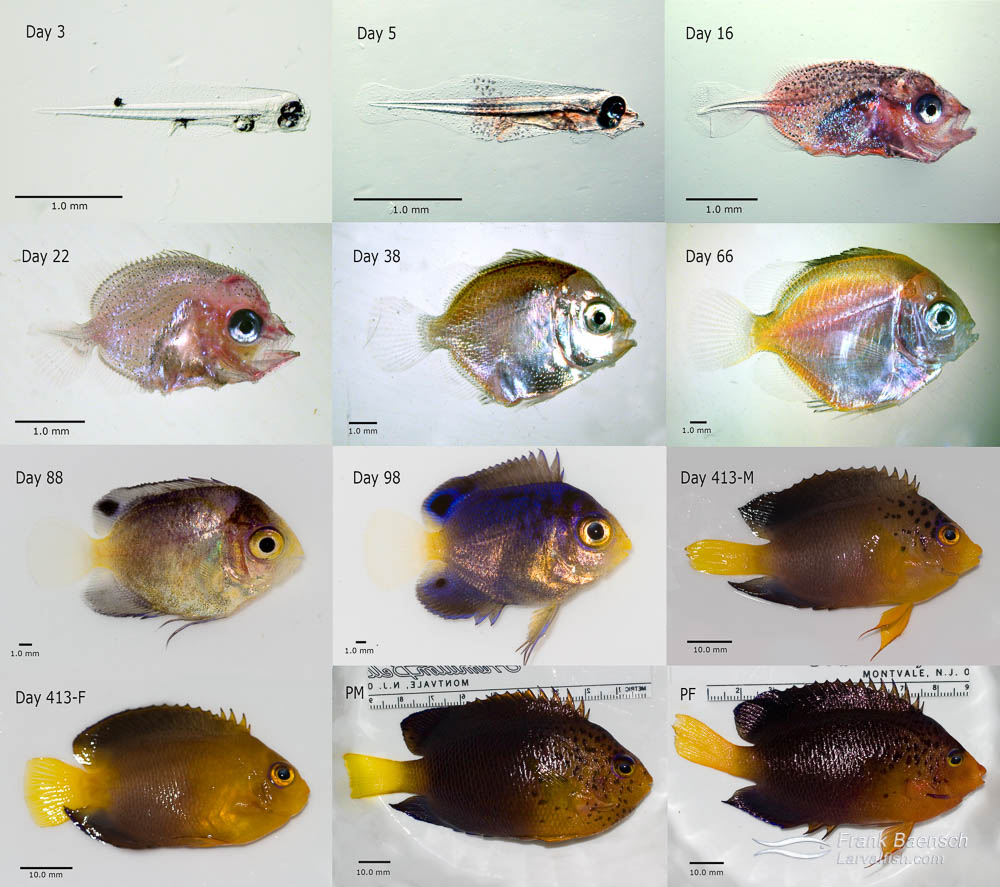 Development of a typical pygmy angelfish (example: Centropyge debelius)