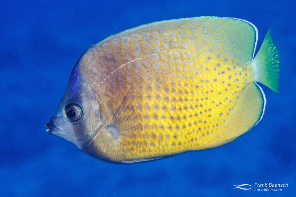 Sunburst butterflyfish (Chaetodon kleinii) adult
