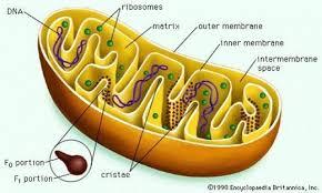 MITOCHONDRIAL MAKEOVER: HORMONE BALANCE
