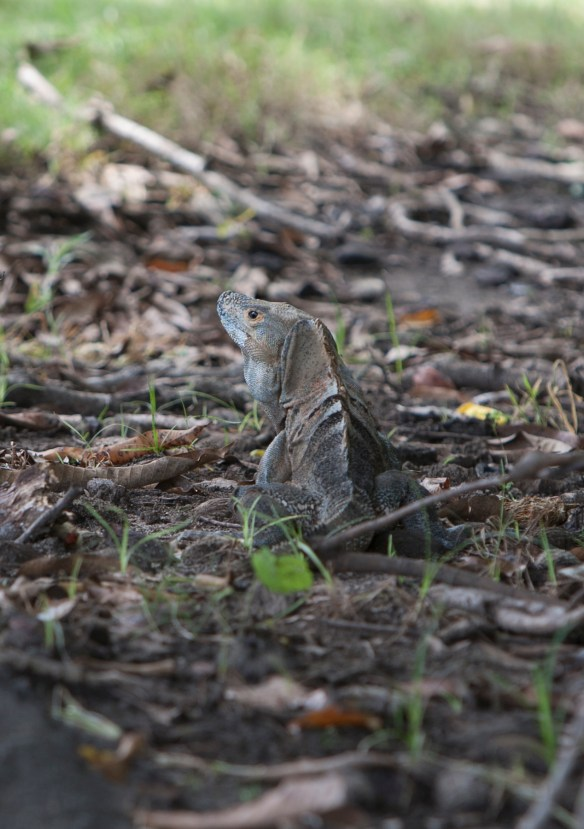 Lots of iguanas.