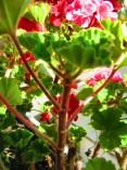 pelargonienblüte