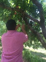 Using a stick for Peach Picking