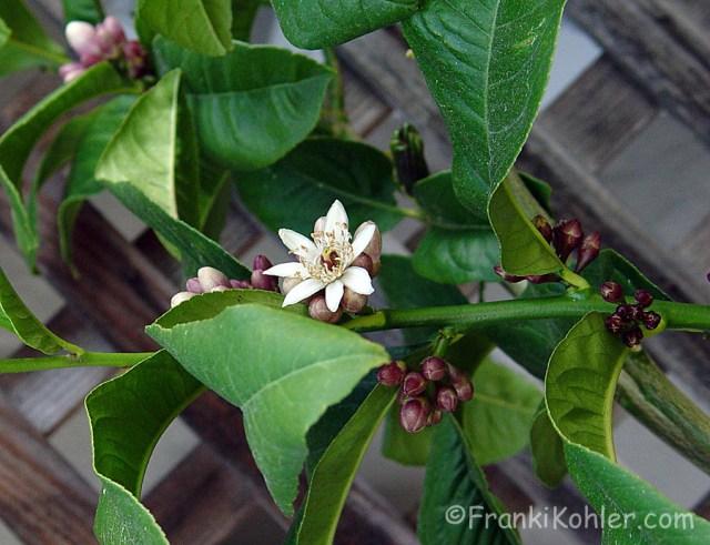 03-16-Budha-blossoms3