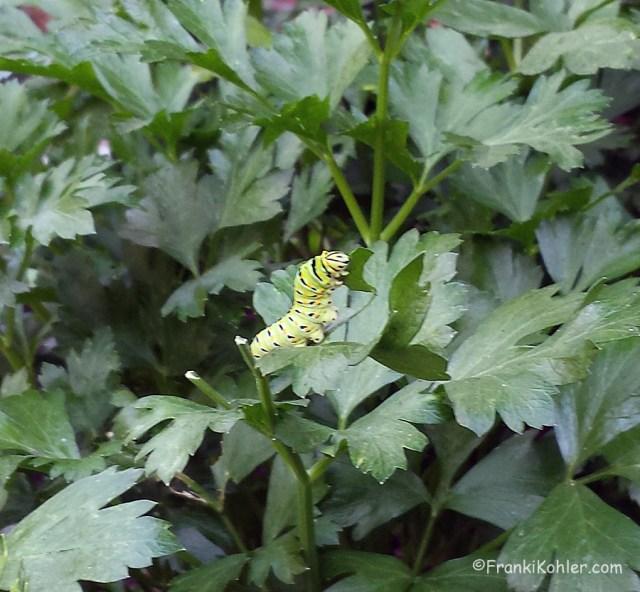 09-23 Western Swallowtail butterfly larva