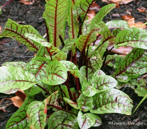 Sorrel, blood veined