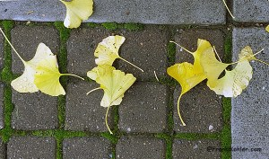 12-03-15-ginkgo-fall-composition