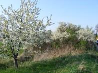 Kirsch- und Schlehenblüten (c) FRank Koebsch