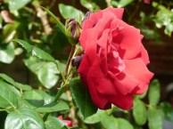 Rosen im Licht des Spätsommers (c) Frank Koebsch