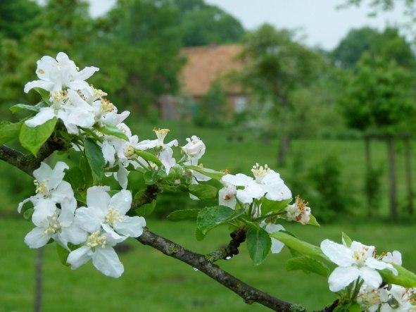 Obstblüte in Schwerin Mueß (c) Frank Koebsch (1)