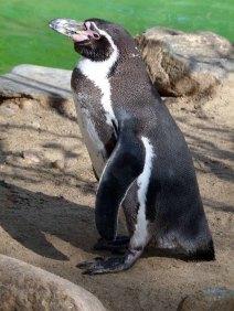 Pinguine im Schweriner Zoo (c) FRank Koebsch (3)