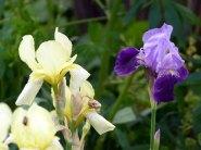 wunderbare Lilien im Garten des Pfarrwitwenhauses von Groß Zicker (c) Frank Koebsch (2)