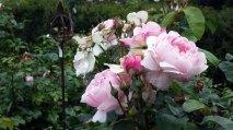 Rosen im Park von Groß Siemen als Motiv für unsere Aquarelle (c) Frank Koebsch (5)