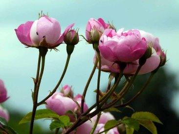 Rosen im Park von Groß Siemen als Motiv für unsere Aquarelle (c) Frank Koebsch (6)