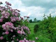 Rosen im Park von Groß Siemen als Motiv für unsere Aquarelle (c) Frank Koebsch (9)