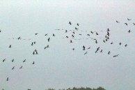hunderte Kraniche im Anflug auf den Rederang See ©Frank Koebsch