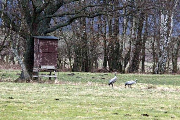 Ganz entspannt - Kraniche im Frühling (c) Frank Koebsch (2)