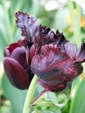 Tulpen haben Wunderbare Rottöne (c) Frank Koebsch (1)