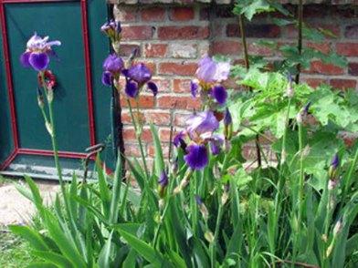 Irisblüten der Schlossgartnerei Wiligrad sind tolle Motive (c) Cornelia Pirl