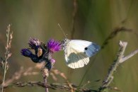 Schmetterlinge im Spätsommer an der Müritz (c) Frank Koebsch (2)