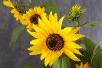 Sonnenblumen (c) Aquarell von Hanka Koebsch