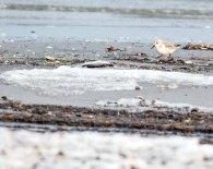 Zwergstrandläufer und Stockente im Winer am eisigen Strand vor dem Darßer Ort (c) FRank Koebsch