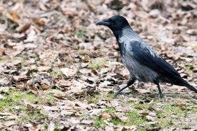 Nebelkähe ein ganz besonderer Singvogel (c) FRank Koebsch (2)