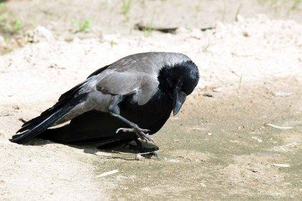 Nebelkähe ein ganz besonderer Singvogel (c) FRank Koebsch (3)