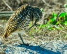burrowing-owl-18