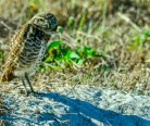 burrowing-owl-3