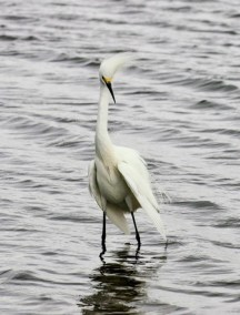 snowy-egret-in-wind