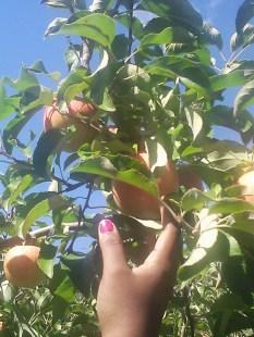 Apple Picking Photo - 1