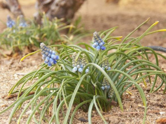 Grape Hyacinth grows in the desert.