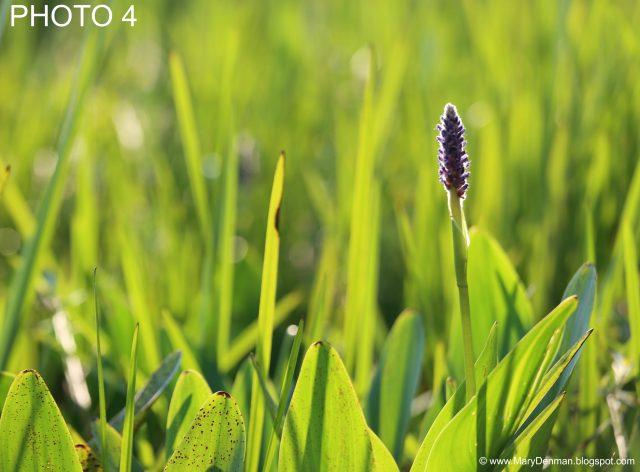 FLOWER PHOTO 4 (Mary Denman, Photographer)