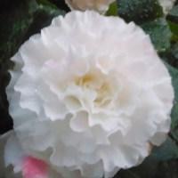 WHITE RUFFLE BEGONIA FLOWER