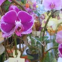 ORCHIDS AT ABERDINE