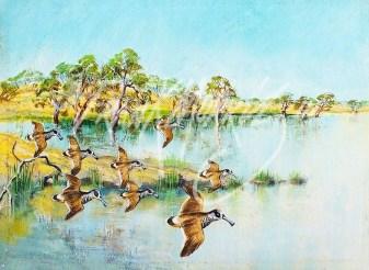 (135) Pink-eared Ducks, Hattah Lakes 15x20 cm