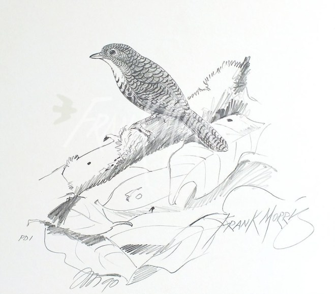(PD1) Rufous Scrub-Bird 76 x 51 cm