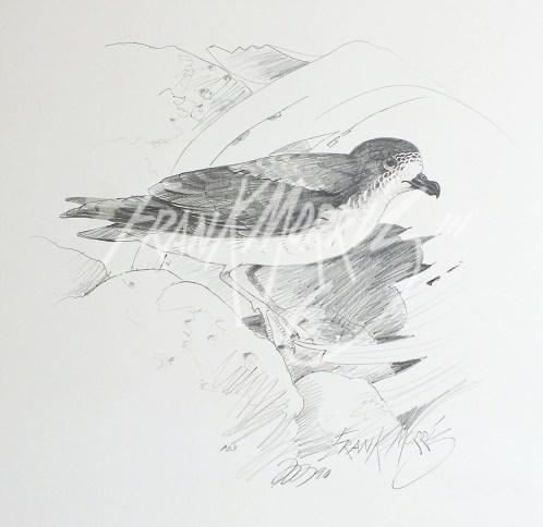 (PD3) Gould's Petrel 76 x 51 cm $60