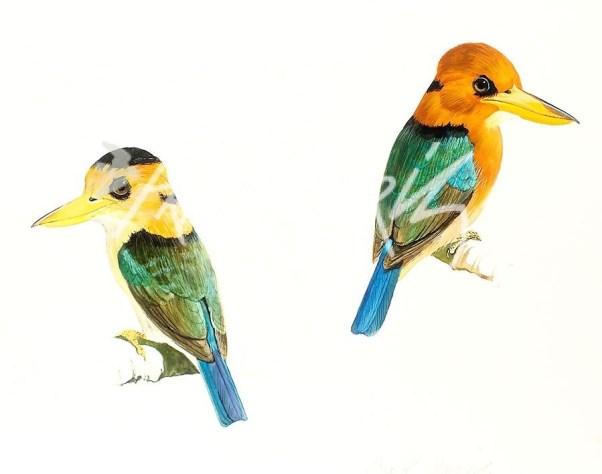 (SKJ91) Yellow-Billed Kingfishers 30 x 35 cm