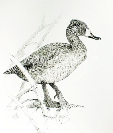 (PD10) Freckled Duck 76 x 51 cm SOLD