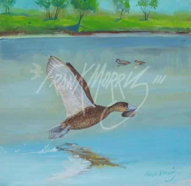 (Y798) Musk Ducks, Lake Windermere, Victoria 28x28cm $300