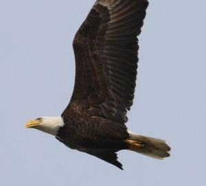 eagle broad