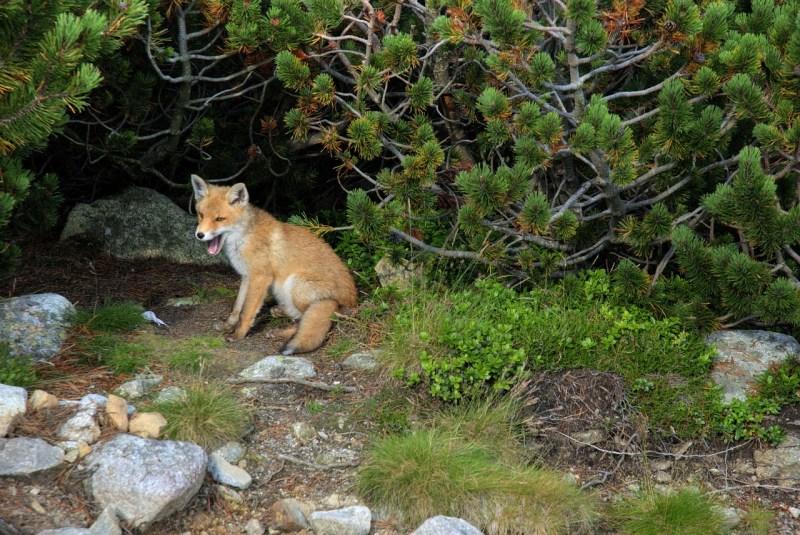 fox-1419366_1280