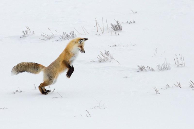 fox-3822455_1280