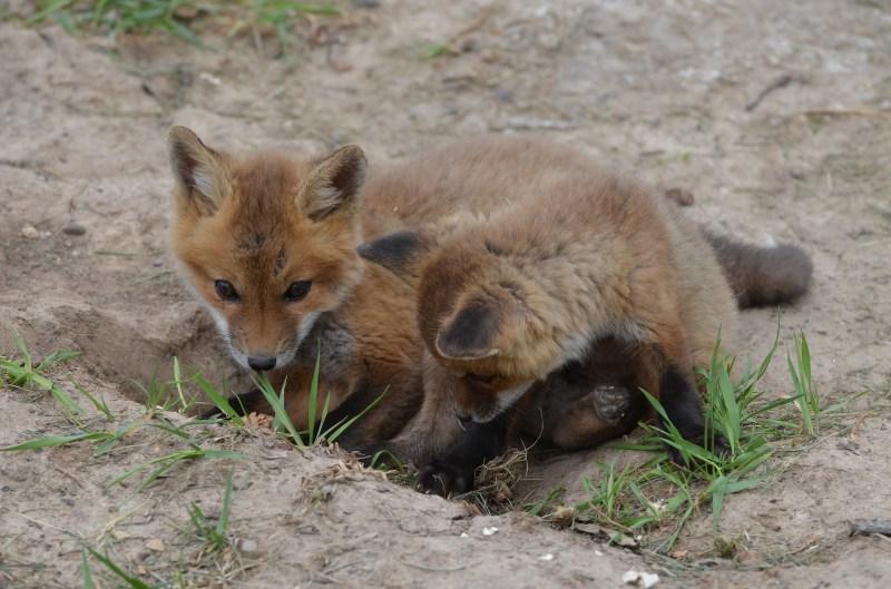 fox-3855646_1920